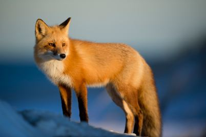 MMEW-fox-GM